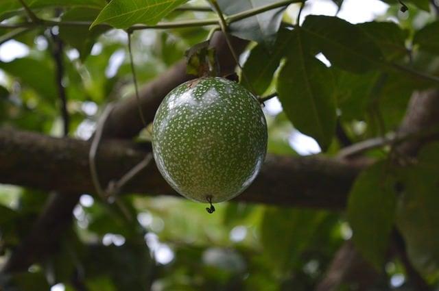 Cultivo fruta de la pasión
